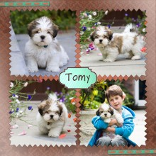 chiot Tomy