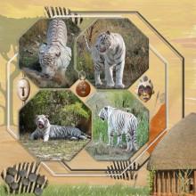 18-martine29-tigres-blancs